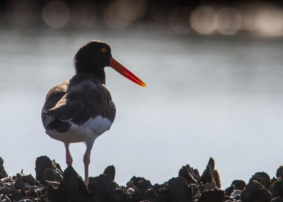 American Oystercatcher on marsh bank