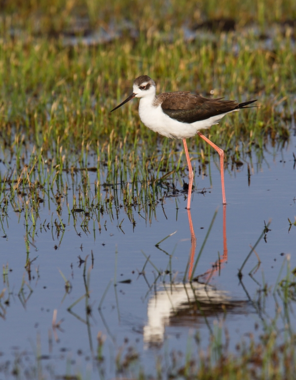 Black-necked Stilt and reflection 1