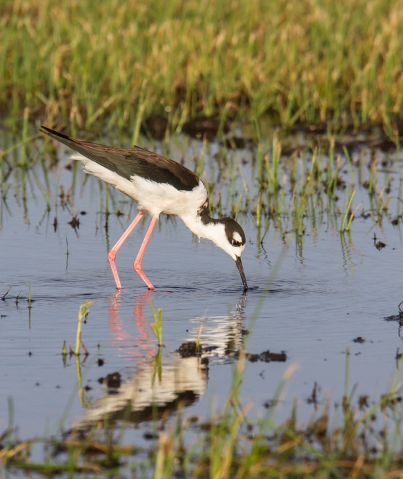 Black-necked Stilt feeding 1