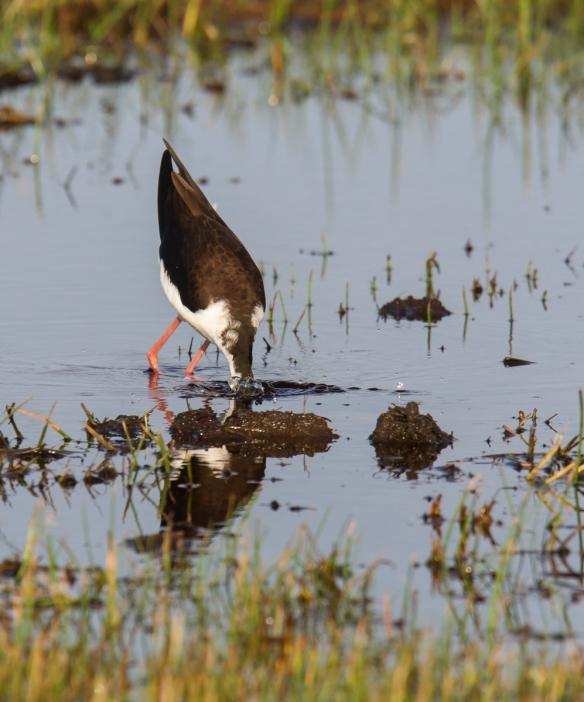 Black-necked Stilt feeding 2