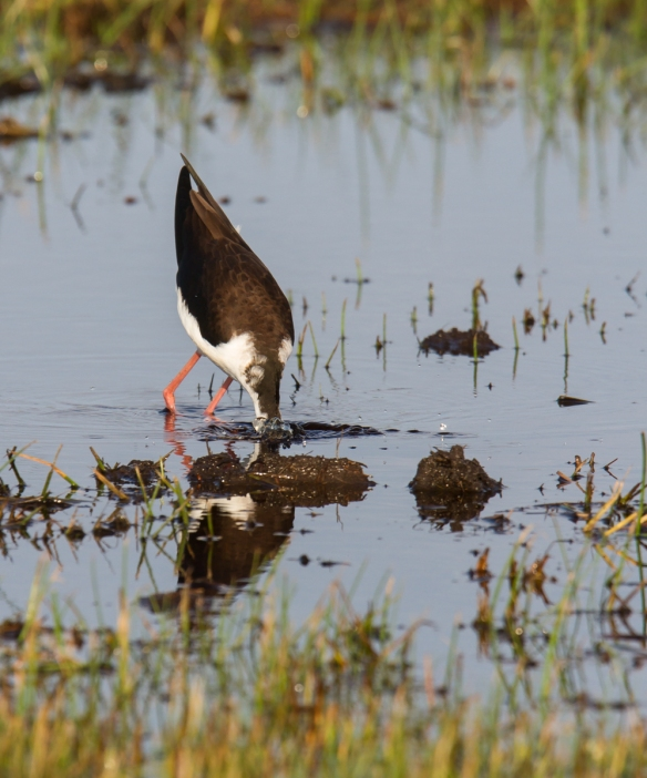 Black-necked Stilt feeding 2