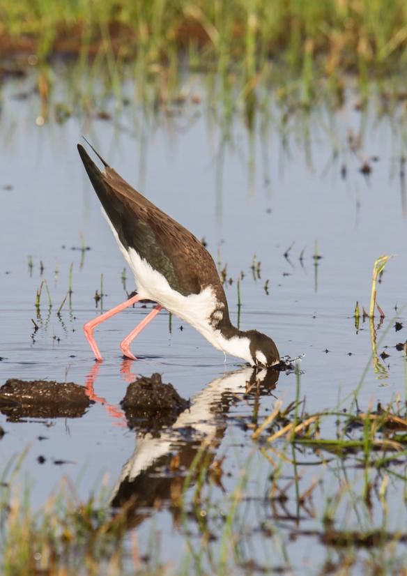 Black-necked Stilt feeding 3