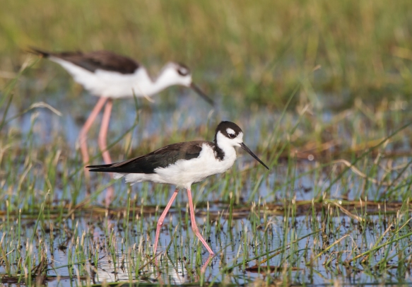 Black-necked Stilts 1