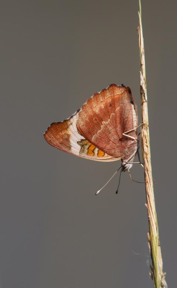 Buckeye butterfly on grass stem