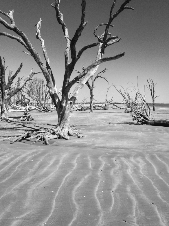 Dead tree at Botany Bay 1