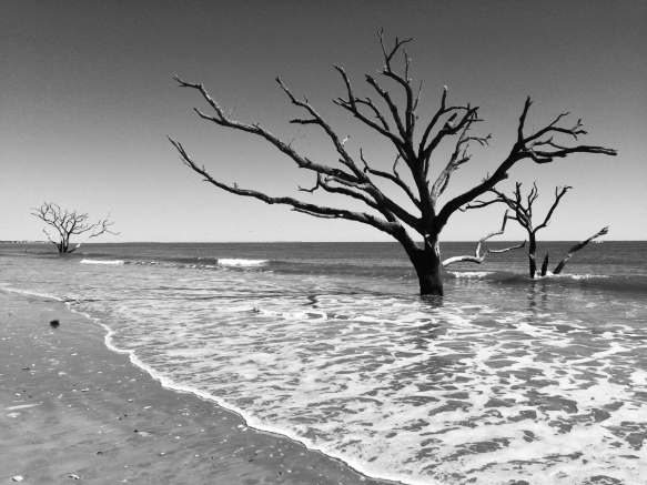 Dead tree at Botany Bay 2