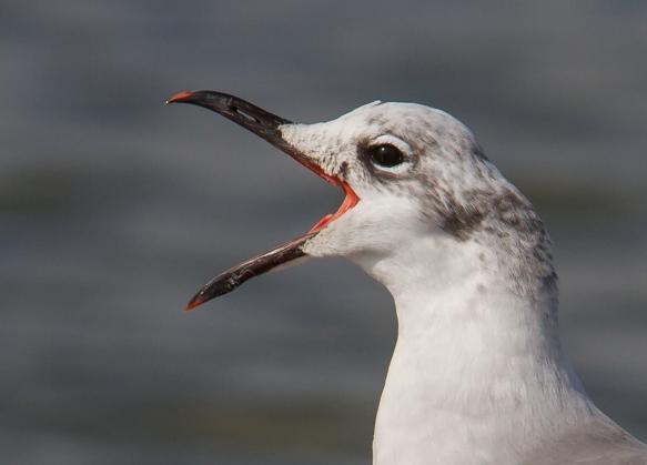 Laughing Gull bill agape