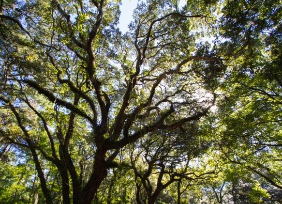 Live Oak branches at Botany Bay