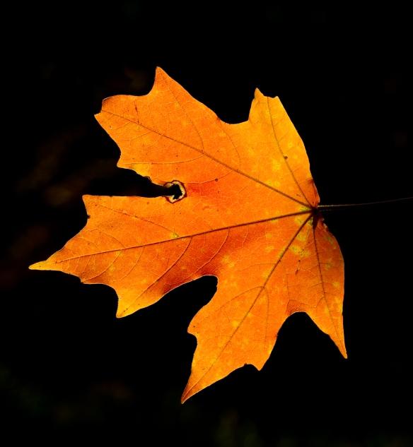 Chalk maple leaf