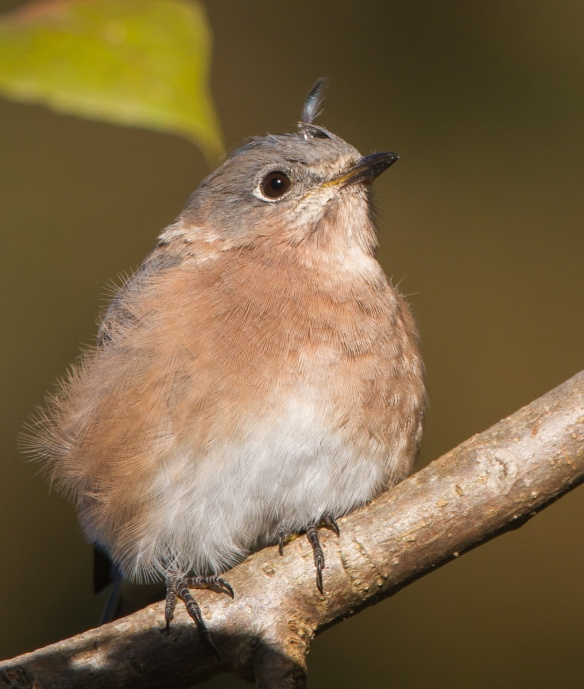 female blubird after a scuffle