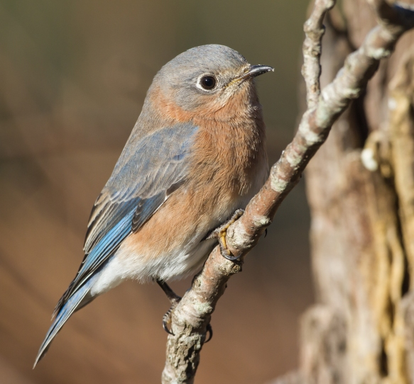 female bluebird on branch 1