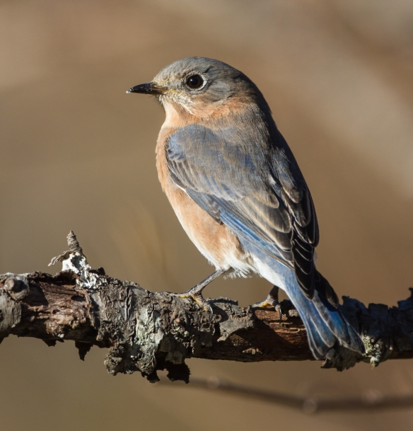 Female bluebird on branch