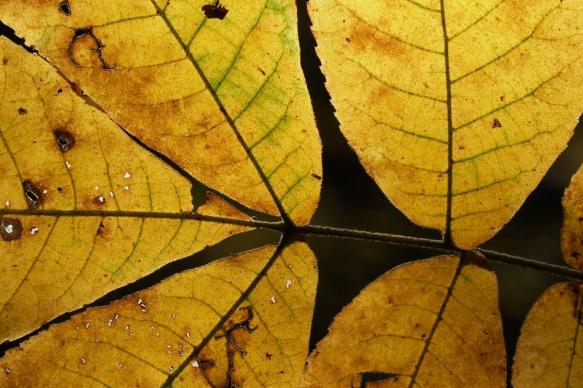 hickory leaf