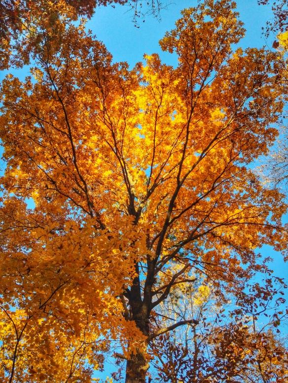 hickory tree 1