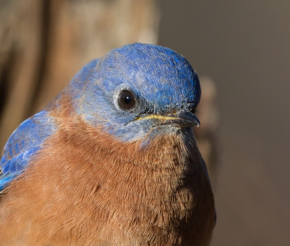 male bluebird head