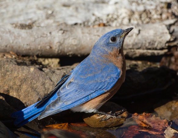 Male bluebird in water garden