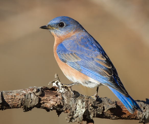 Male bluebird on brsnch