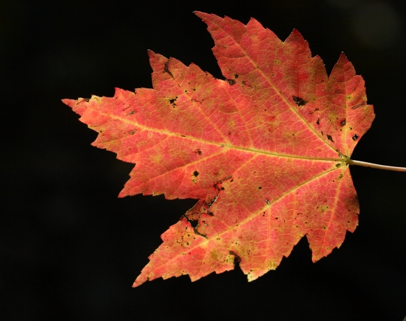 maple leaf backlit 1