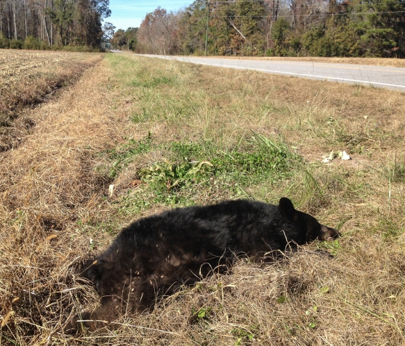 Roadkill Black Bear