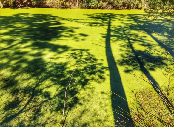 Shadows on duckweed-filled pond