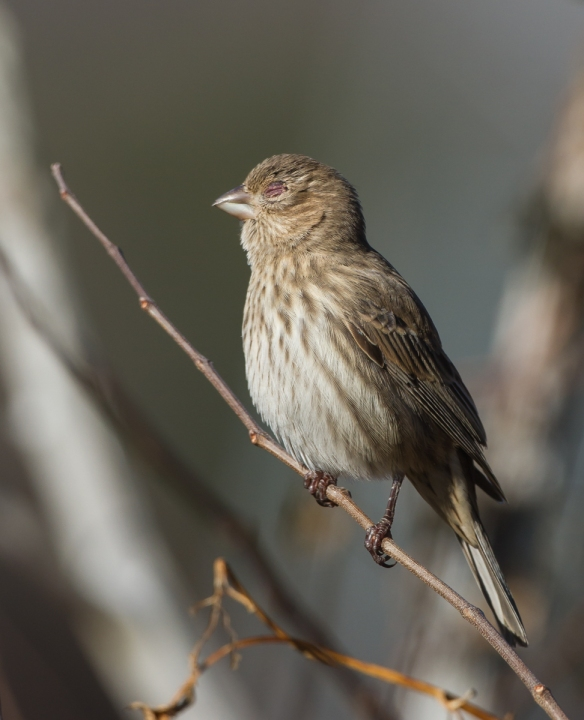 Female House Finch with finch eye disease