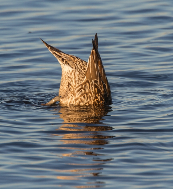 Female Northern Pintail dabbling
