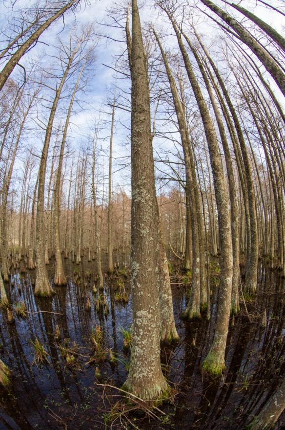 Fish eye lens in swamp