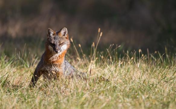 Gray Fox 2