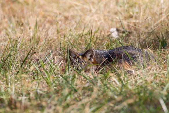 Gray Fox napping along road