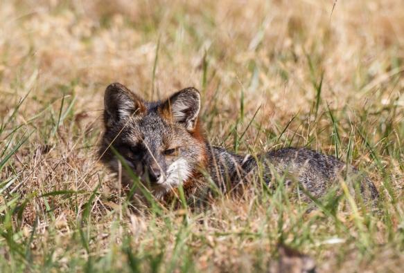 Gray Fox napping