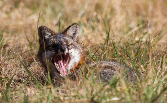 Gray Fox yawning