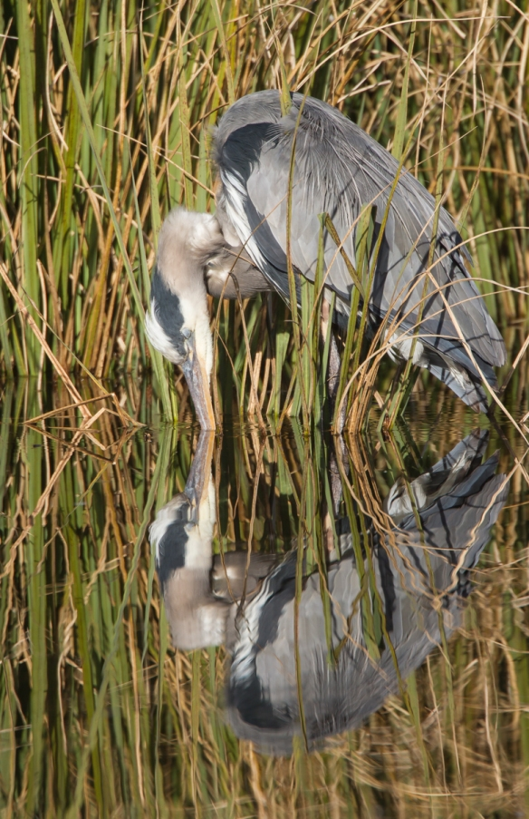 Great Blue Heron gets a drink