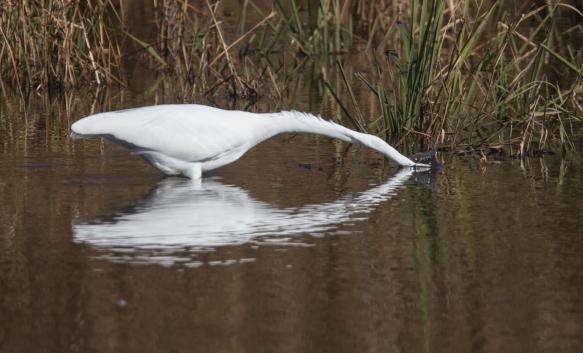 Great Egret striking at prey