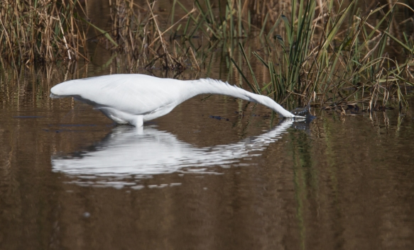 Great Egret striking at prey