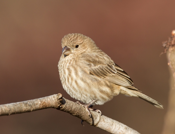 House Finch female 1