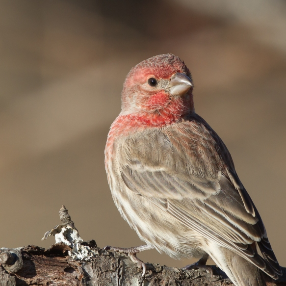 male house finch - good eye