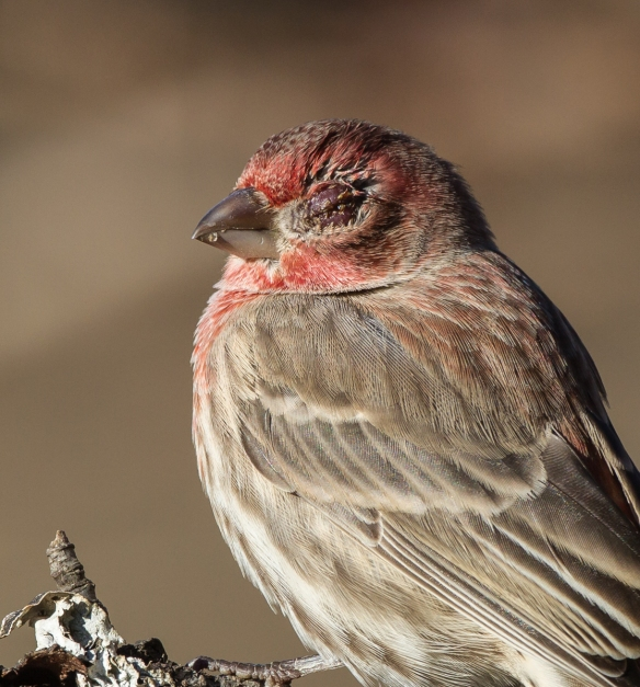 Male House Finch with finch eye disease