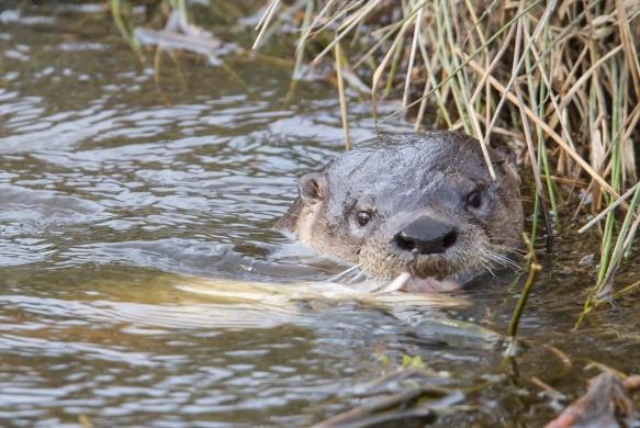Otter catches fish