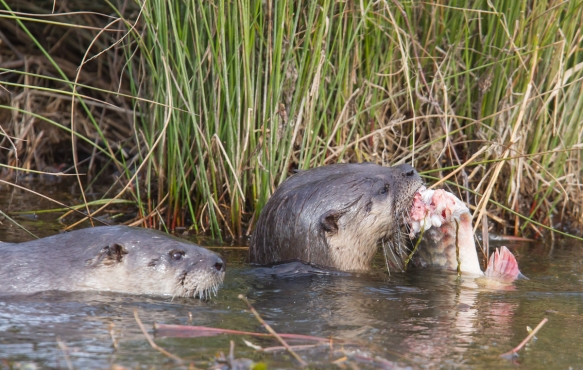 Pair of otter with fish