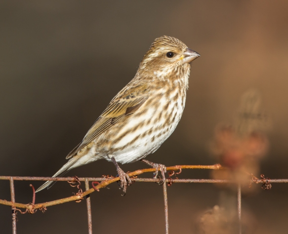 H Finch Lighting winter finches | Roads...