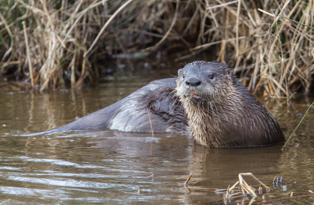 """river otter In the fall of 2012, an unusual visitor arrived at the ruins of san francisco's sutro  baths: a river otter """"sutro sam"""" became a local sensation, charming tourists as."""