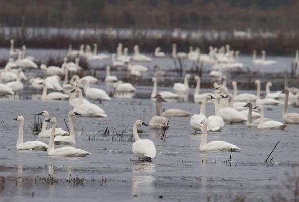 Tundra swan flock on impoundment
