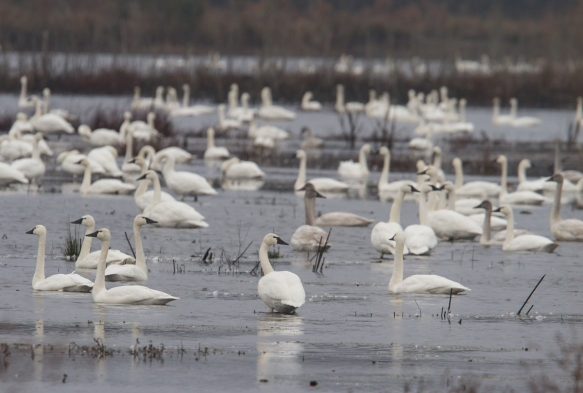 Tundra swan flock on impoundment