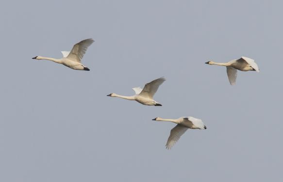 Tundra Swan flyover
