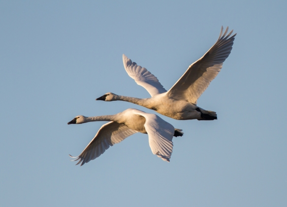 Tundra swans flying out of Pungo Lake