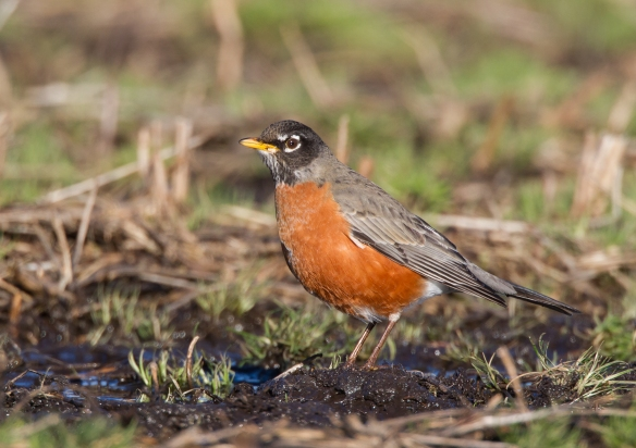 American Robin feeding in field