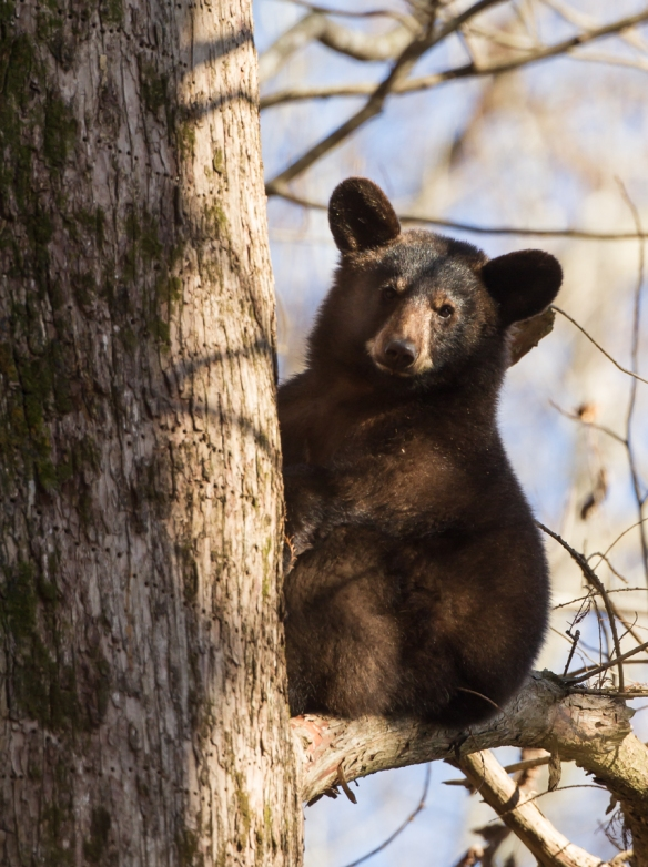 black bear in tree 1