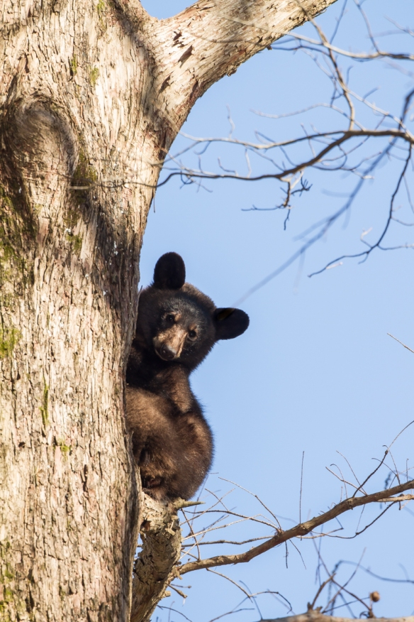 black bear in tree 2