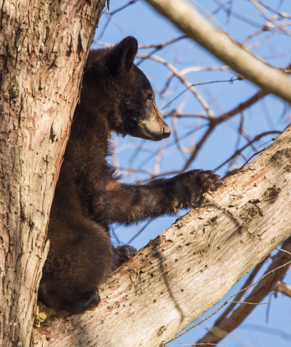 black bear in tree 4