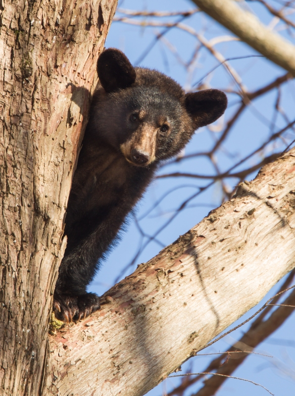 black bear in tree 5